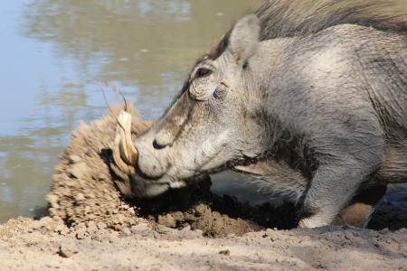 Mud Shovel - Warthog boar digging a hole to sleep in   Photographed in Namibia   photo