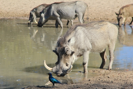 Warthog family with a Boar closest   Photographed in Namibia   photo