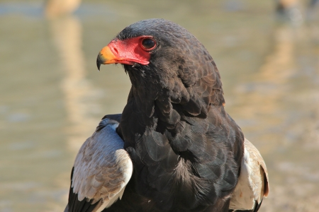 Bateleur Eagle - Portrait of Power and Pride from African Raptors in the Wild photo