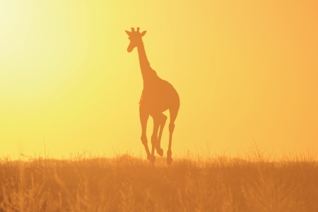 Giraffe Sunset - Background beauty of Wild Africa photo