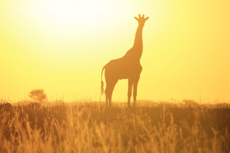 Giraffe - Golden Yellow Background and Beauty of Colors from Wild Africa  photo