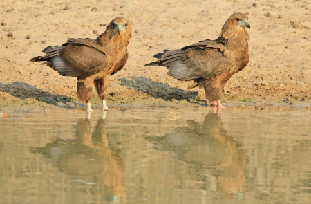 Bateleur Eagle - Bird Background from wild Africa - Reflection of young Eaglets of Gold Stock Photo - 21814202