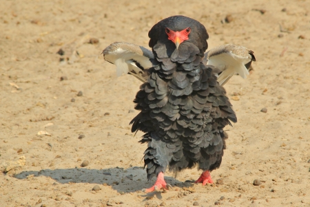Bateleur Eagle - Bird Background and beauty from wild Africa photo