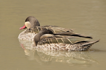 Duck - Red-billed Teal - Wild Game Bird Background from Africa photo