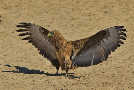 Bateleur Eagle Background - Wild Birds and Raptor - Wings over Africa photo