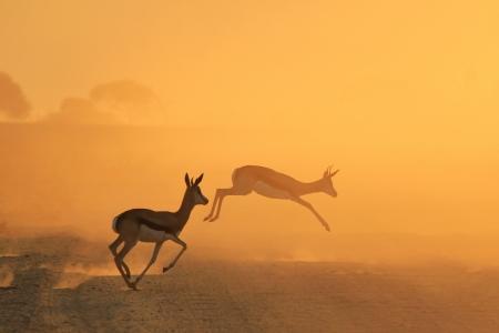 springbuck: Springbok