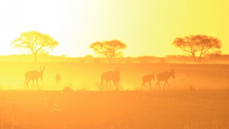 Wildlife and Sunset Background of Golden Yellow - Red Hartebeest from the wilds of Africa photo