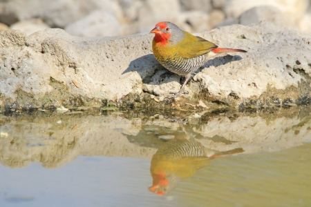melba: Melba Finch - Aves Silvestres de fondo de color super - África