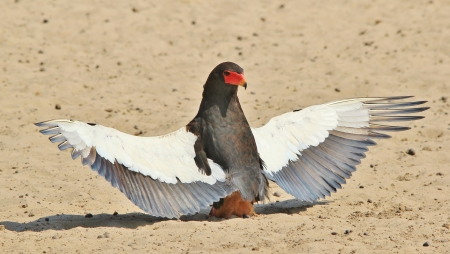 Bateleur Eagle - Wild Bird Background from Africa - Raptor of status and iconic symbol