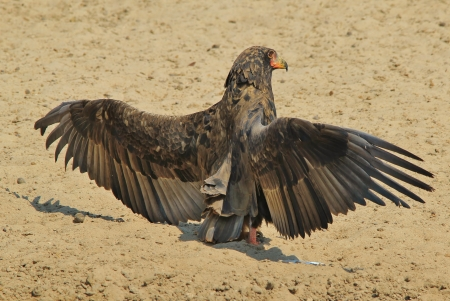 Bateleur Eagle - Wild Bird Background from Africa - Young adult with spread wings photo