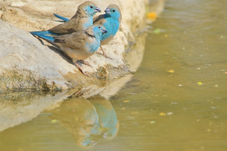 Blue Waxbill - Wild Bird Background from Africa - Three beauties of color photo