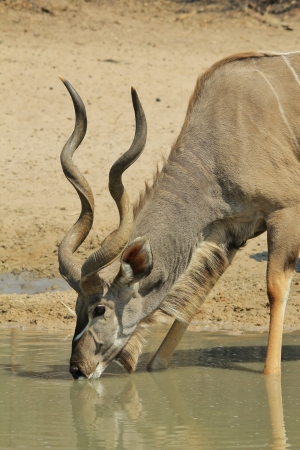 quenching: Kudu antelope - Wildlife Background from Africa - Quenching thirst Stock Photo