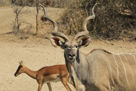 recluse: Kudu antelope - Wildlife Background from Africa - Spiral Horns of the Great Stock Photo