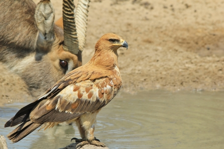 Tawny Eagle - Wild Bird background from Africa - Respect photo