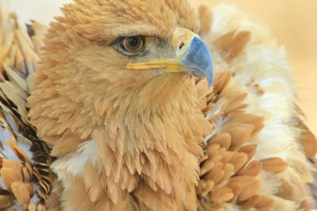 Tawny Eagle - Wild Bird background from Africa - Anger Management photo