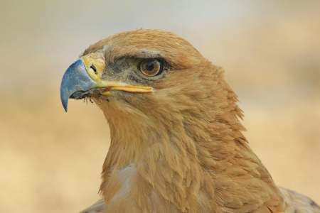 Tawny Eagle - Wild Bird background from Africa - The eye of the super Eagle photo