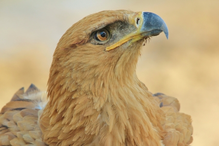 Tawny Eagle - Wild Bird background from Africa - Looking for beauty of gold like mine photo