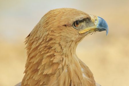 Tawny Eagle - Wild Bird background from Africa - Close-up of beauty and perfection of Mother Nature photo