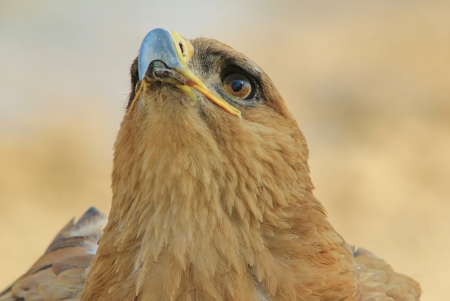 Tawny Eagle - Wild Bird background from Africa - Iconic Symbol of Power and Pride photo