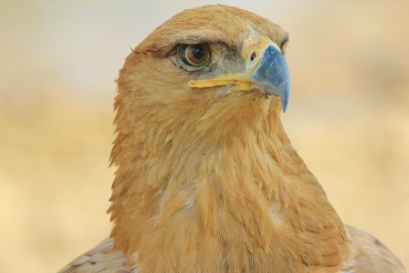 Tawny Eagle - Wild Bird background from Africa - Beak of black and feathers of gold photo
