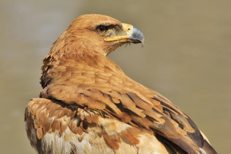 Tawny Eagle - Wild Bird background from Africa - Looking back into the time of Gold photo