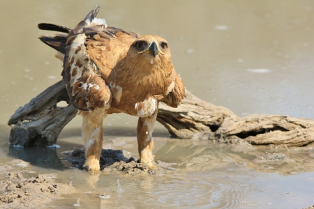Tawny Eagle - Wild Bird background from Africa - Blur of Quenching thirst photo