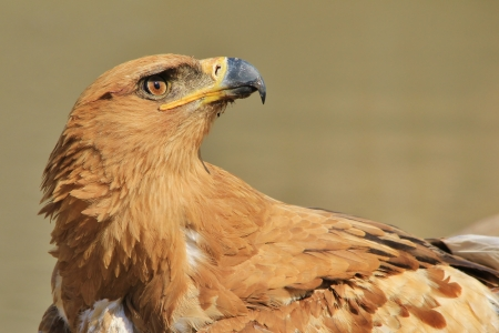 Tawny Eagle - Wild Bird background from Africa - Searching the Heavens for Angels photo