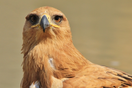 Tawny Eagle - Wild Bird background from Africa - Eyes on you photo