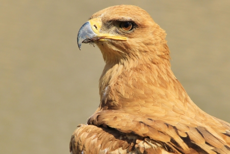 Tawny Eagle - Wild Bird background from Africa - Display of Perfect Pose and Plumage photo