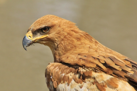 Tawny Eagle - Wild Bird background from Africa - Giving the evil Eye photo