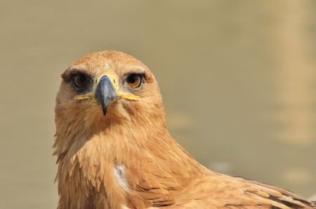 Tawny Eagle - Wild Bird background from Africa - Yes, looking at you photo