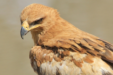 Tawny Eagle - Wild Bird background from Africa - Golden Plumage of Fine Feathers photo