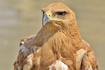 Tawny Eagle - Wild Bird background from Africa - Pose of Power and Pride photo