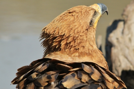 Tawny Eagle - Wild Bird background from Africa - Looking for Angels photo