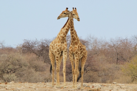 captivate: Giraffe - Wildlife Background from Africa - Super Nature and her Animal Kingdom