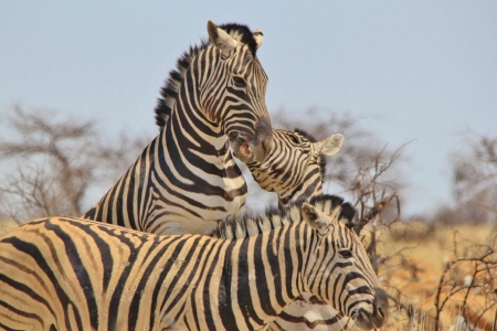 シマウマ - アフリカからの野生動物の背景 - 幻想的な自然と彼女の動物の王国