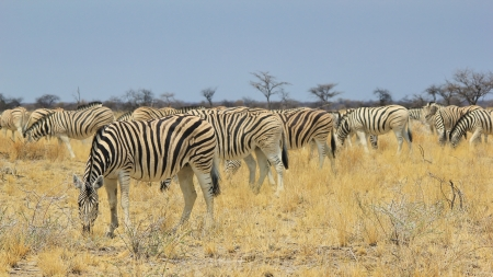 Zebra - Wildlife Background from Africa - Fantastic Nature and her Animal Kingdom photo