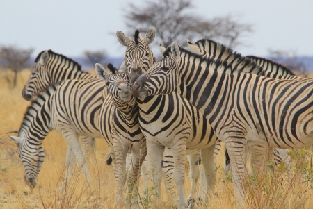 africa kiss: Zebra - Wildlife Background from Africa - Fantastic Nature and her Animal Kingdom