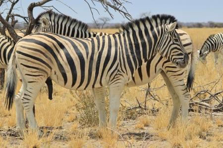 シマウマ - アフリカの野生動物の背景 - 素晴らしい自然と彼女の動物王国