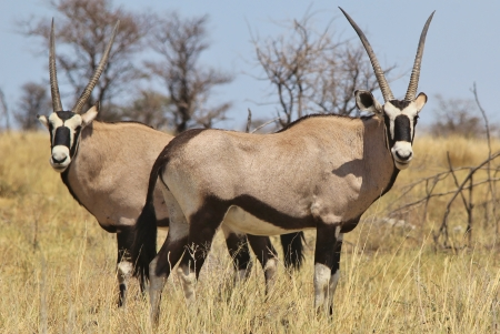Oryx - Wildlife from Africa - Gemsbok line of Horns from the Animal Kingdom photo