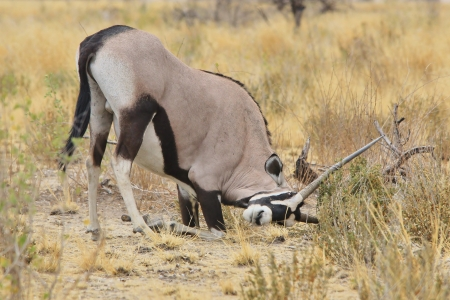 Oryx - Wildlife from Africa - Gemsbok sharpening of Horns from the Animal Kingdom photo