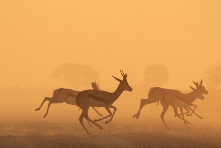 Springbok - Wildlife and Yellow Dust from the wilds of Africa - Freedom of the Golden Jump photo