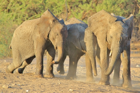 Elephant, African - Wildlife Background from Africa - Play of calves photo