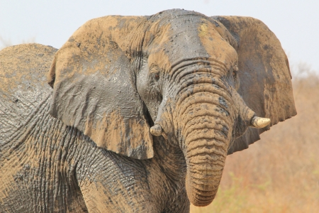 Elephant, African - Wildlife Background from Africa - Bull Power of Imposing Pride photo