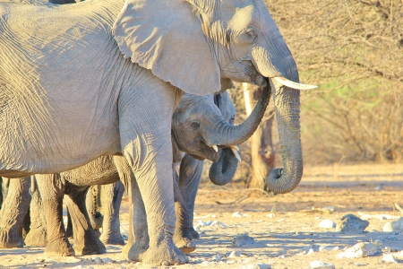 Elephant, African - Wildlife Background from Africa - Baby trunk of Fun photo