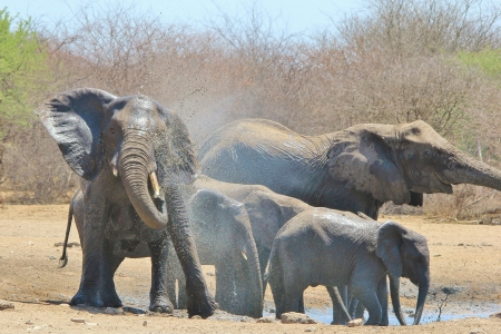 Elephant, African - Wildlife Background from Africa - Splash of Cool Water photo