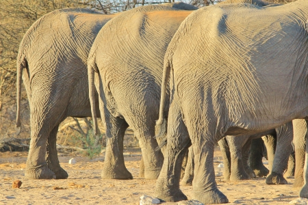 Elephant, African - Wildlife Background from Africa - Nature s Health Spa and Diet Clinic of Weightloss Standard-Bild