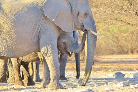 Elephant, African - Wildlife Background from Africa - Baby Trunk of Funny Fun photo