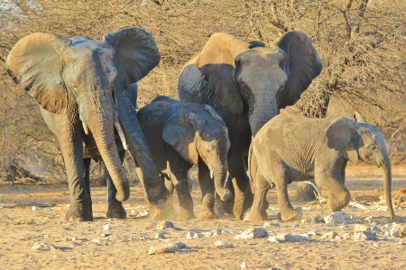 Elephant, African - Wildlife Background from Africa - Shove of Love photo