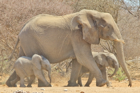 Elephant, African - Wildlife Background from Africa - Baby Walk of Twins photo